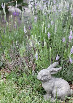 Wonderful bunny watches over lavender.  (The best time to harvest lavender is when the buds swell, flower and turn a brilliant purple shade. It is also best to harvest  in the cool, dewy morning hours.)