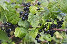 Blackcurrant - a source of vitamin C. Such a great berry for home-made juice.