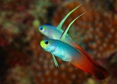 Fire Dartfish pair (Nemateleotris magnifica)