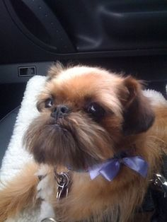 My Brussels Griffon after grooming, Theodore Roosevelt