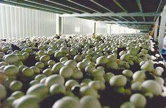Produção de Cogumelos cria 200 empregos em Chaves. Uma empresa de capitais holandeses e portugueses está a captar jovens investidores para desenvolver, em Chaves, uma unidade de produção de cogumelos de grande escala. Em fase de pleno funcionamento, a produção anual poderá atingir os 6 milhões de quilos de cogumelos brancos e dar trabalho a 200 pessoas.