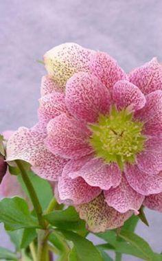 Lenzrose 'Rock'n Roll' Der Sortenname ist Ausdruck ihrer auffälligen Blütenform. Sie blüht von Januar bis März und zeigt rosarote gefüllte Blüten mit interessantem Punktmuster. Die Sorte wird 60 cm hoch.