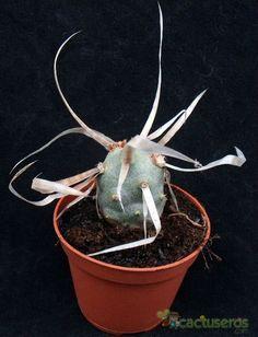 Tephrocactus articulatus fma. papyracanthus