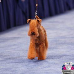 ... Lakeland terrier on Pinterest | Lakeland terrier, Welsh terrier and Lakeland Terrier Rescue Texas