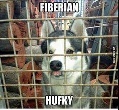 Siberian Husky...                                                                                                                                                                                 More #funnydogmeme #dogsfunnyfaces