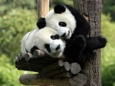 This is a selection of some of the most amazing Panda photographs out there. Will definitely make you to want to become a Panda yourself! most of them from the Panda Research Base in Chengdu. Niedlicher Panda, Panda Love, Cute Panda, Panda China, Big Panda, Happy Panda, Happy Smile, Bored Panda, Animals And Pets