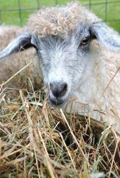 When Pygmy Meets Angora, You Get A Pygora Goat