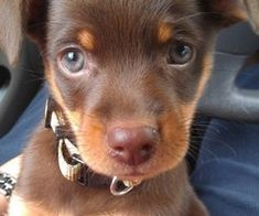 chocolate and brown puppy