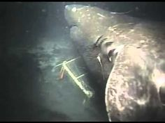 """Giant Shark filmed off Japan - """"When trying to ascertain its size, researchers took into account the dimensions of the bait container, as well as the length of other sharks that can be seen in the footage before the monster shows up, which were judged to be around 2 meters (6.5 feet) long. Using these as size comparisons, the mystery shark was estimated as being at least 30 feet long, with more exaggerated estimations putting it at more like 50 or 60 feet long."""""""