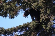 Gov. Walker requests Government Hill bear family be relocated, not killed | Local News - KTUU.com Anchorage