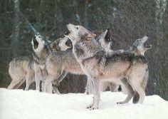 """""""En una manada de Lobos: los primeros 3 son los viejos o enfermos, dan el ritmo a toda la manada. Si fuera al revés, serían dejados atrás, perdiendo el contacto con la manada. En caso de una emboscada..."""