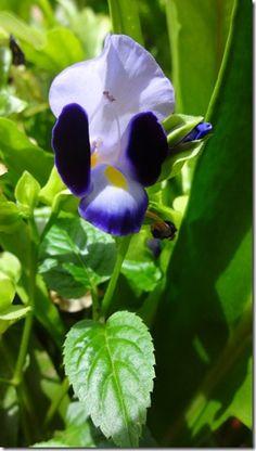 flor-boca-de-leao3