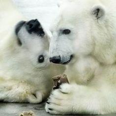 Polar bears - pixdaus