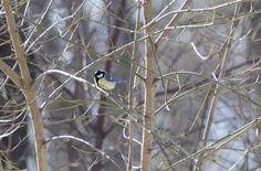 Kohlmeise (männlich) #meisen #singvögel #naturfotografie #reitmeier #bereit-videofilm