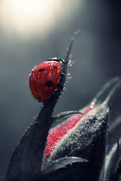 Ladybug - Pixdaus