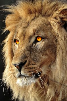 "vividessentials: ""Beautiful Lion   vividessentials """