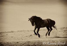 Wild Black Stallion Photo <3 Tamara Gooch Photography