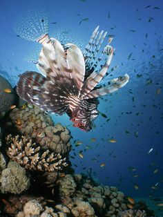 ✯ Lion Fish at Dawn .. Photography David Kittos✯