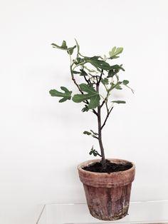 Fig tree Fig Tree, Green, Plants, Ficus, Ficus Tree, Plant, Planets