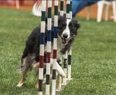 #Border #Collies are very quick.