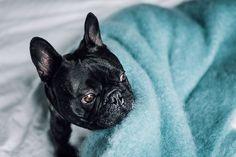 Blue Kare - Está confeccionada a mano por artesanos de Ezcaray. Su composición es 73% mohair (pelo de cabra de angora y una de las fibras naturales más valiosas del mundo) y 27% lana natural.  De aspecto esponjoso, con su abrigo el perro recibe lo más parecido al abrazo de su dueño. #HANNIKO #Mantas #MantasParaPerros #Blankets #DogBlankets #LuxuryDogs #LuxuryDogsBlankets French Bulldog, Dogs, Animals, Shopping, Home, World, Dog Blanket, Stoves, Bed Covers