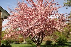 Kwanzaa cherry tree. One of the prettiest of the cherries. Blooms look like pink pom poms.