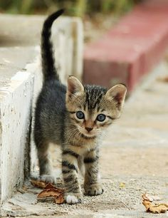 Cat Facts: Fun Tidbits About Tabby Cats Kittens tabby cat Pretty Cats, Beautiful Cats, Animals Beautiful, Kittens Cutest, Cats And Kittens, Cute Cats, Cat Fun, Ragdoll Kittens, Funny Kittens