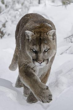 Twitter / SWildlifepics: Cougar in the snow. ...