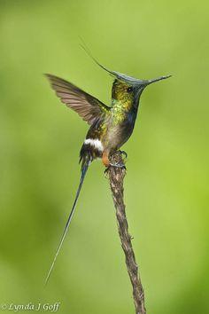 Wire-crested-Thorntail - hummingbirds--- coquette de popelaire -- colibri