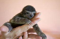 Убежище для ленивцев в  Коста-Рика «Aviarios Sloth Sanctuary»