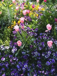Pansies and Tulips in Monet's Gardens