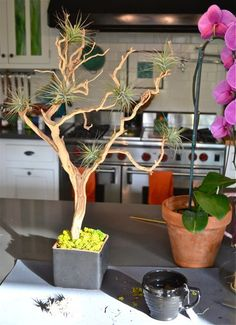 How to create your own Tillandsia Tree. Perfect little tree, hearty out doors, and and perfectly sculptural indoors.: