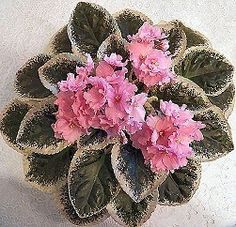 African Violet Cajuns Flamboyant Mistress | eBay Cajun's Flamboyant Mistress (10581) B. Thibodeaux:  Single-semidouble coral pink frilled pansy/darker pink top petals, variable thin  raspberry edge.  Variegated dark green, cream and pink, plain heart-shaped.  Standard.
