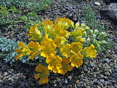 Alpine plants for a rockery - Tropaeolum polyphyllum