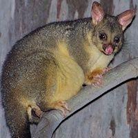 Family Phalangeridae (Brushtail Possums & Cuscuses) - Australian Mammal photos