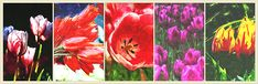 Collage format of a collection of related small paintings arranged into one larger painting that provides a statement piece representing a passion or interest of yours. This image depicts an assortment of colorful tulips blooming in the spring