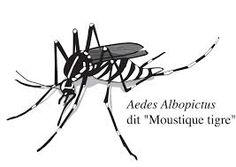 """Résultat de recherche d'images pour """"moustique tigre"""""""