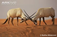 ARABIAN ORYX At one time extinct in the wild, this desert antelope can once again be seen wandering the dry Arabian Peninsula. The Arabian oryx is an antelope that is highly specialised for its harsh desert environment
