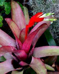 Unusual Billbergia Climber- has long stolons and is happy to climb out of its pot + attach itself to the nearest tree