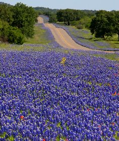 Lovely purple highway, perfect for zipping along #ridecolorfully Texas bluebonnet tour via Travel America's Best Spring Drives