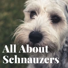 How to Enjoy Your Schnauzer and Eliminate Problems-- I am a big schnauzer fan, and since we got our own dog, Moya, I have learned a lot. I wrote this article to share information about this special breed with other dog lovers. Schnauzer Breed, Bichon Dog, Schnauzer Grooming, Mini Schnauzer Puppies, Giant Schnauzer, Dog Grooming, Schnauzers, Teacup Chihuahua, Black Schnauzer
