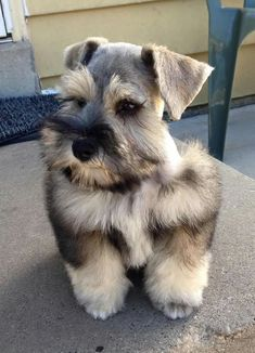 Beautiful Link: https://www.sunfrog.com/search/?64708&search=schnauzer&cID=62&schTrmFilter=sales