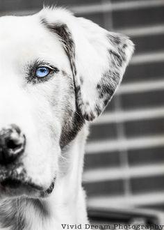 Black and White Photo Catahoula Leopard Dog from Vivid Dream Photography Edmonton