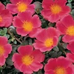 moss rose, purslane, portulaca, how are they different?