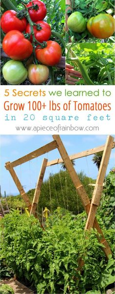 Grow Organic Tomatoes - 5 tried-and-true techniques we learned on how to grow tomatoes like an expert and get a big harvest: over 100 lbs in 20 square feet! Tomato Trellis, Vine Trellis, Cucumber Trellis, Tomato Cages, Garden Trellis, Trellis Ideas, Growing Tomatoes In Containers, Growing Vegetables, Organic Gardening