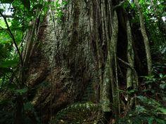 Fisionomia: Floresta Ombrófila Densa Sub Montana/Montana (entre 400m e 800m). Local: Cachoeiras de Macacu/RJ