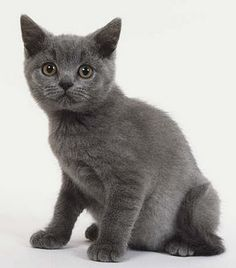 british blue kitten | Tumblr