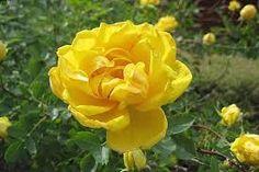 Takalo-Roppolan puutarha- ja mansikkatila: RUUSUT- Persian yellow