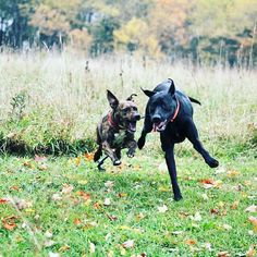 Lemon (left) & Choco getting CRAZY at camp  #evasplaypupsPA #dogs #dogcamp #sillypooches #playtime #BFFs #goofballs #dogsinnature #runfree #runlikethewind #itsadogslife #brooklyndogs #autumntime #letsgetreadytorumble #pitbullsofinstagram #pittylove #labsofinstagram #dogsofinstagram #instapups #instadogs #doggyvacays #doggievacays #dogboarding #pleasantmount #northeasternpa #PA #pennsylvania