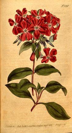 Melastoma (1801-1803) - Curtis's botanical magazine. - Biodiversity Heritage Library